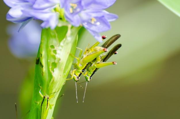 히아신스의 푸른 꽃에 메뚜기(oxya japonica) 짝짓기