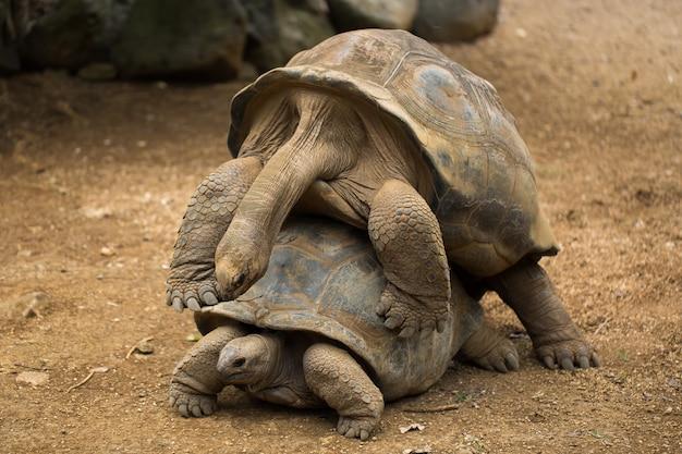 Спаривание черепах в зоопарке