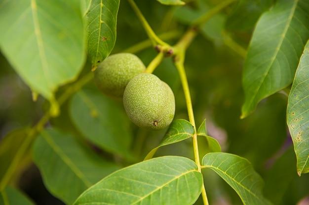 Maturation of walnut. green texture