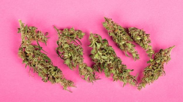 분홍색 배경에 마리화나 약용 식물의 성숙하고 기름진 원뿔.