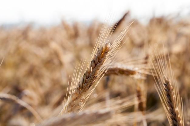 성숙하고 흐린 날씨에 밀밭을 수확 할 준비가되었습니다.