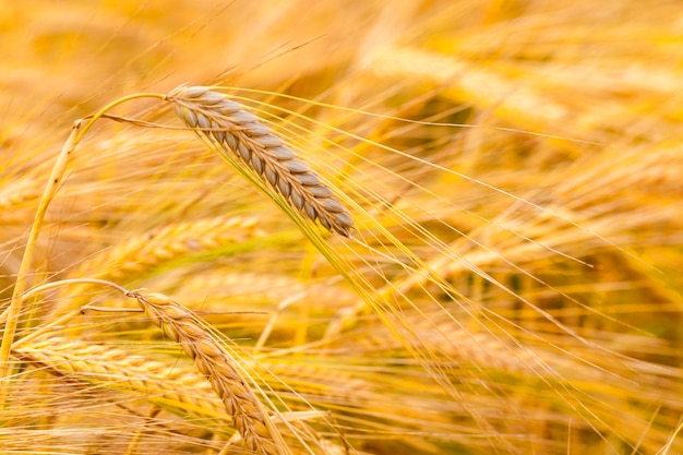 성숙한 곡물-곡물이 자라는 농업 분야