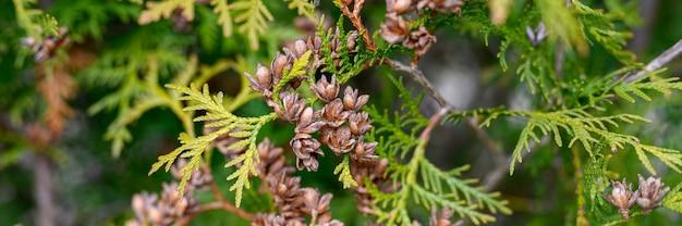 Зрелые шишки туи восточной и листвы туи. закройте ярко-зеленую структуру листьев туи с коричневыми шишками. знамя