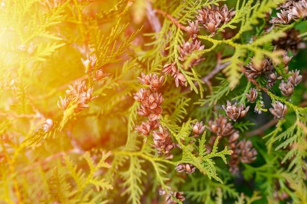 Зрелые шишки туи восточной и листвы туи. закройте ярко-зеленую структуру листьев туи с коричневыми шишками. вспышка