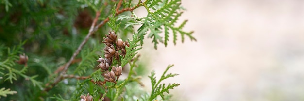 Mature cones oriental arborvitae and foliage thuja. close up of bright green texture of thuja leaves with brown seed cones. banner