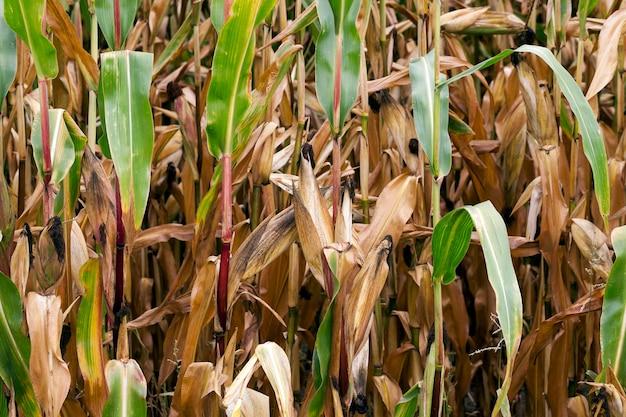Сельскохозяйственное поле зрелой кукурузы