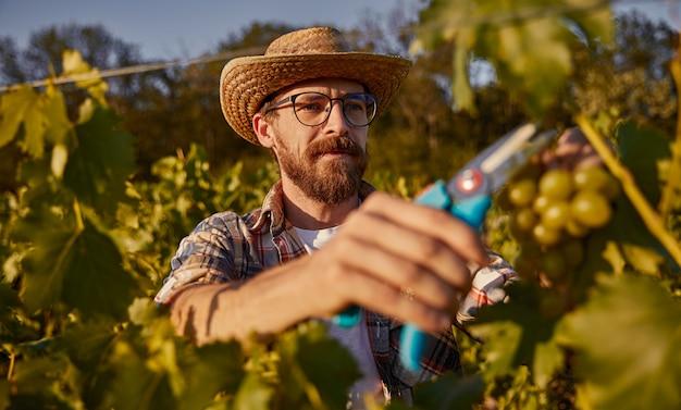 Mature farmer harvesting grapes on vineyard