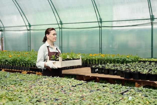 녹색 묘목이 있는 성숙한 정원사 운반 상자