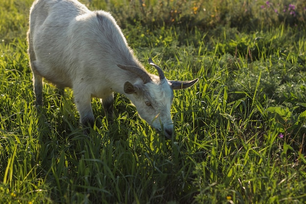 Mature goat at farm eating grass