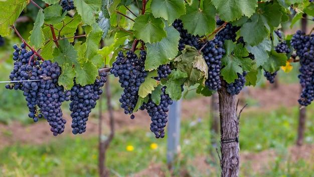 Зрелый виноград осенью в австрии, бургерланд