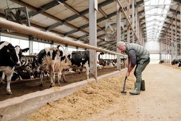 Зрелый седой владелец животноводческой фермы готовит корм для коров, стоя у загона со скотом у длинного прохода
