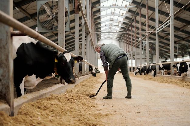 Зрелый седой владелец животноводческой фермы, стоя у длинного прохода, кладет коровам корм для коров в загоны с крупным рогатым скотом