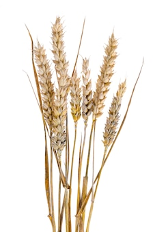 Mature stems with ears of rye on white background.