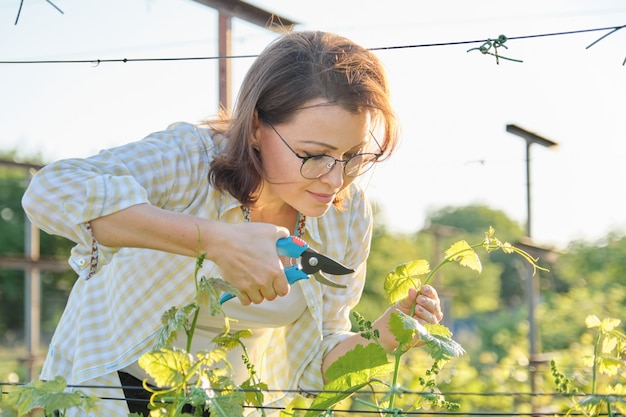 Mature woman working with pruner scissors with grapes bushes.