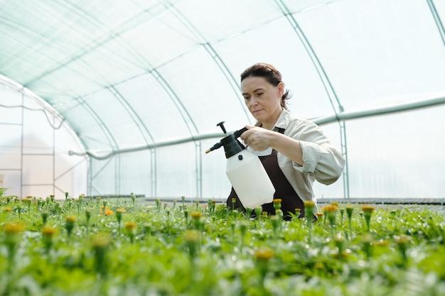 Mature worker of greenhouse spraying green seedlings