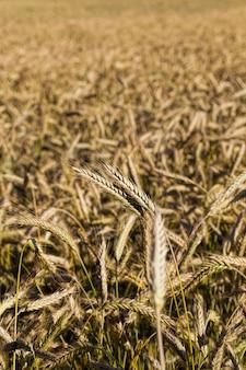 農地での成熟した黄ばんだ穀物、収量と利益のための農業
