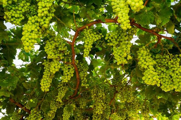 ワイン醸造用の枝に成熟した緑のブドウ