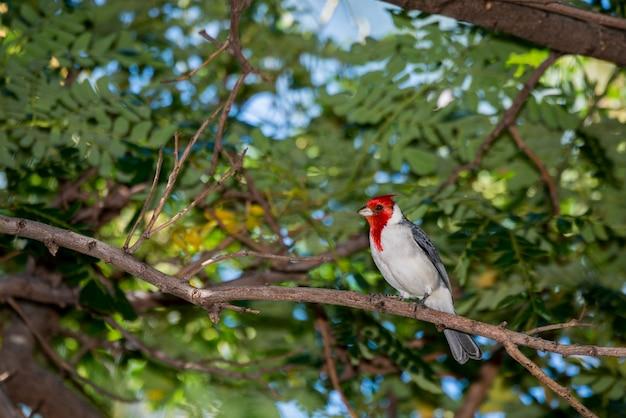 Maui, hawaii. red-crested cardinal, paroaria coronata perched on a tree branch.