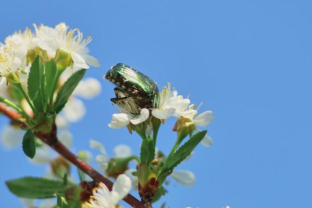 봄 살구 꽃에 딱정벌레 수 있습니다.