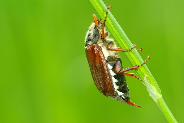 Майский жук на зеленой траве