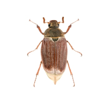 흰색 배경에 고립 된 버그 또는 cockchafer (melolontha melolontha) - 큰 딱정벌레의 매크로 샷