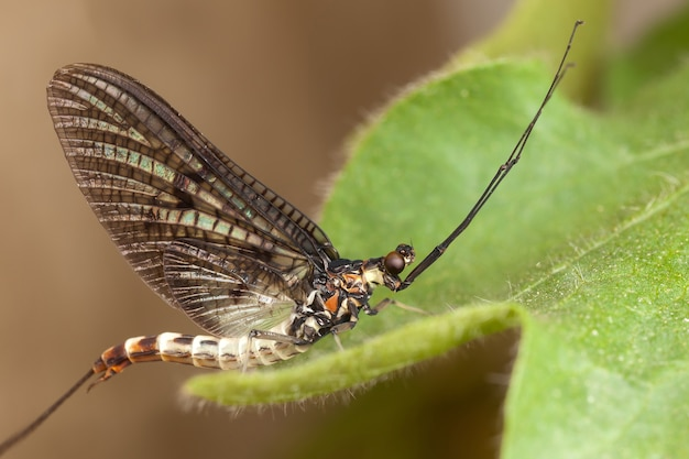 Mayfly with beautiful mesh wings, long tail and antennae rest on a green, hairy plant leaf