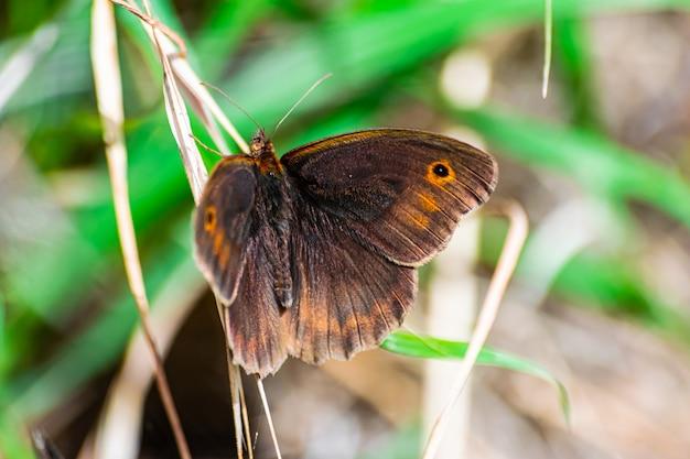 牧草地の茶色の蝶