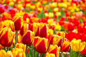 Meadow colored tulips