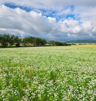 Meadow of coriander.