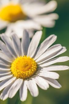 Цветок маргаритки луг в солнечный день на размытом фоне.