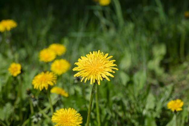 牧草地のタンポポの花、自然の背景