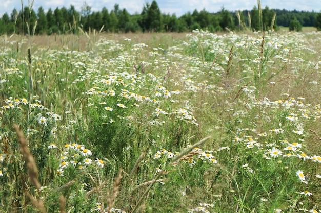 牧草地、ヒナギクと緑の草のあるフィールド、夏の背景