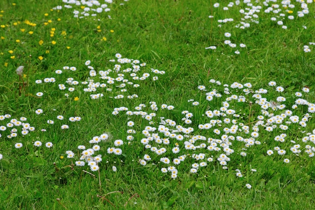 Meadow flowers. white and yellow flowers growing on field. many small chamomiles on lawn. wild flowers on the field. .