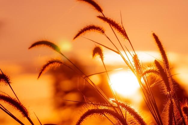 黄金の日の出の空と朝に露のしずくと牧草地の草の花。