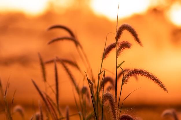 オレンジ色の日の出の空を背景に朝露のある牧草地の草の花。