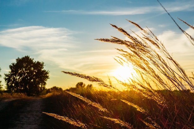 Meadow grass on sunset background