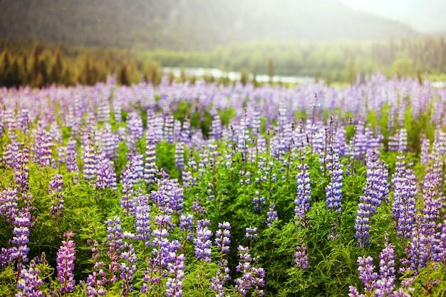 夏の牧草地のアラスカの牧草地