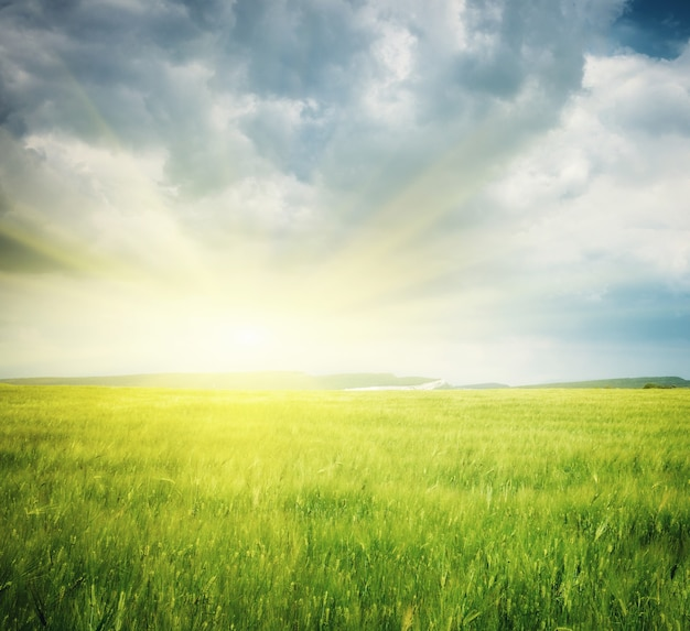 밀의 초원입니다. 자연 구성입니다.