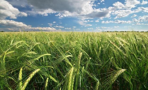 밀의 초원입니다.