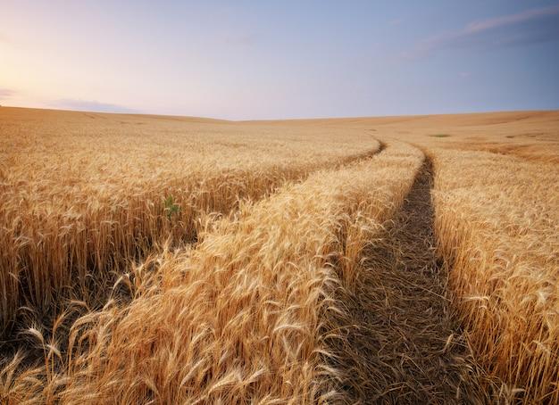 Луг пшеницы.