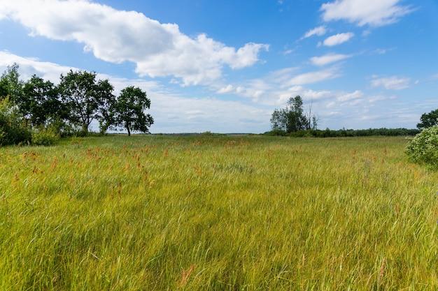 美しい背の高いオークが育つ牧草地、晴れた暖かい天候の夏の風景。