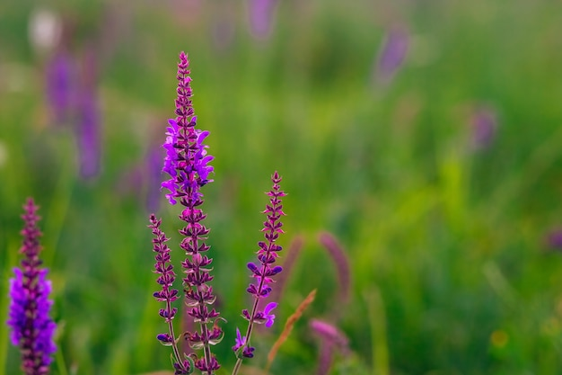 Meadow summer flowers purple and lilac colors blooming sage blooming meadow on a summer sunny day