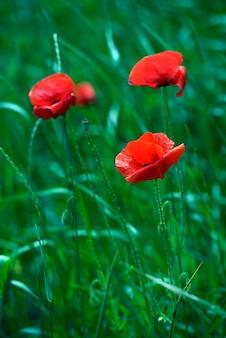 Луг с красивыми ярко-красными цветами мака весной