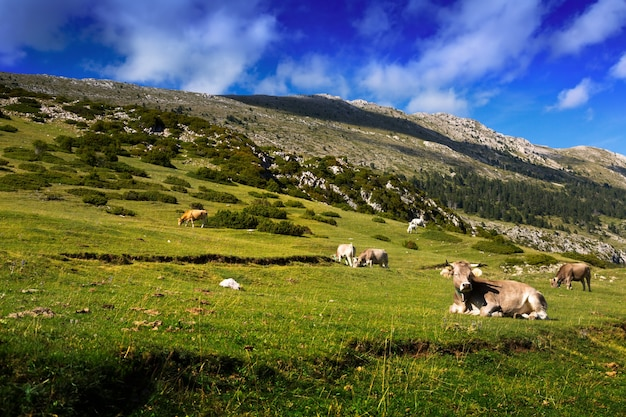 Meadow  with cows in summer day