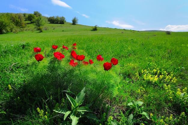 푸른 잔디와 붉은 양귀비 꽃이 있는 초원