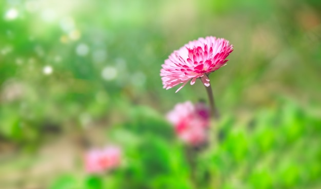 Meadow with pink spring daisy flowers in sunny day. nature floral background in early summer with fresh green grass