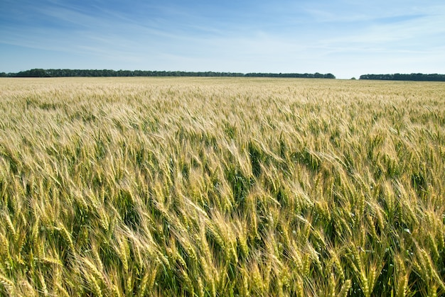 Луг с пшеницей