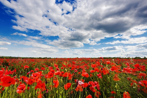 Meadow with wild poppies and blue cloudy sky, background