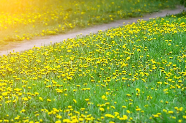 Meadows green and yellow dandelions and a trail.