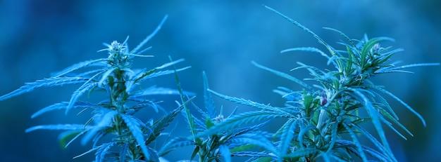 医療大麻。高品質のマリファナの葉のクローズアップ